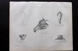 Miles C1890 Antique Horse Print. Anatomy - The Head of the Horse